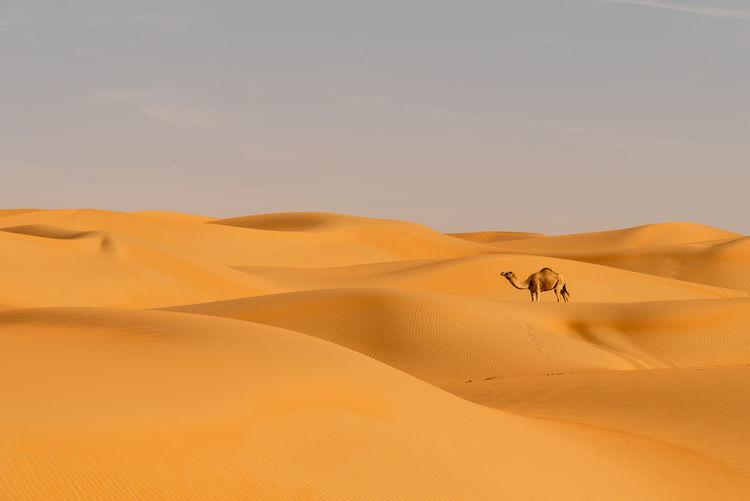 Camel on sand dune at desert against sky