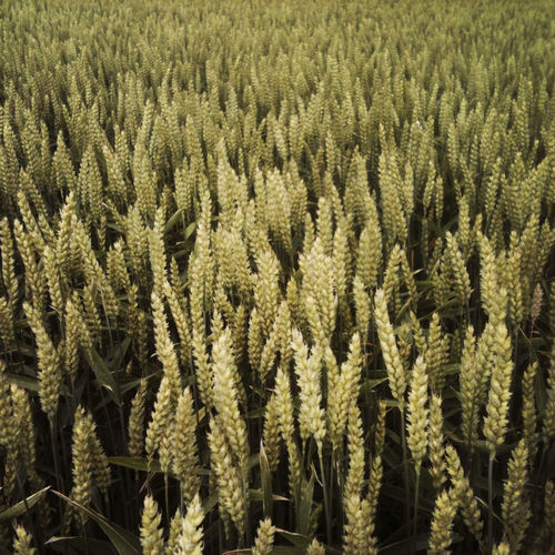 Field of wheat. Wheat Backgrounds Beauty In Nature Day Land Nature No People Outdoors Tranquility