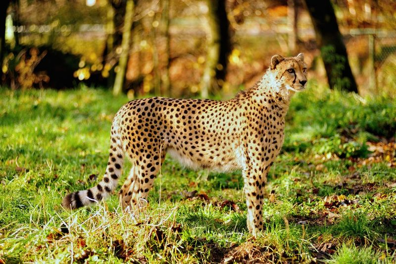 Spotted Animals In The Wild Animal Cheetah Animal Wildlife One Animal Leopard Safari Animals Grass Outdoors Travel Destinations Day Mammal Nature No People Animal Themes