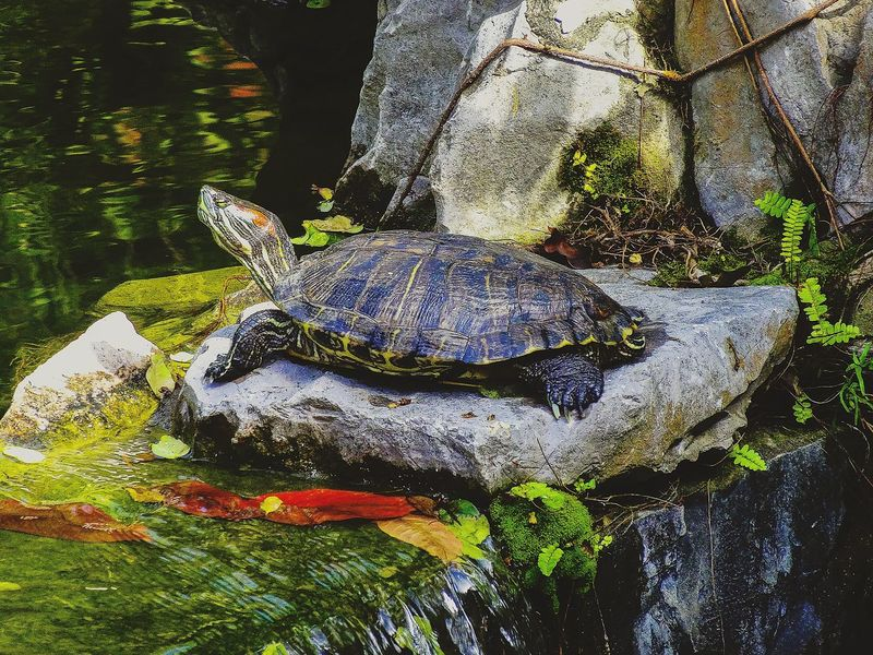 Turtle enjoying the sun Relaxing Moments A Moment Of Zen... EyeEm Nature Lover Getting Inspired Inspired By Beauty Beauty In Nature Hiking_walkingPlaying With Water Capture The Moment Leaf 🍂 Creative Light And Shadow Water Ripples Enjoying Life Pattern, Texture, Shape And Form Tranquility Water Reflections Water_collection Just Having Fun