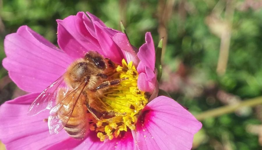 🐝dance Of The Bee🐝 7 Insect Pink Color Flower Nature Focus On Foreground Petal Close-up Plant Outdoors Day Flower Head Fragility Bee Pollination Beauty In Nature One Insect Insects In The Wild Insect Wildlife No People Sunlight Cosmos In My Garden Beautiful Autumn In New Zealand