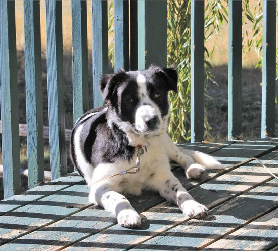 Domestic Canine Dog Domestic Animals Pets One Animal Mammal Vertebrate Day Looking At Camera Portrait No People Outdoors Sitting Front View Sunlight Nature Border Collie Mouth Open