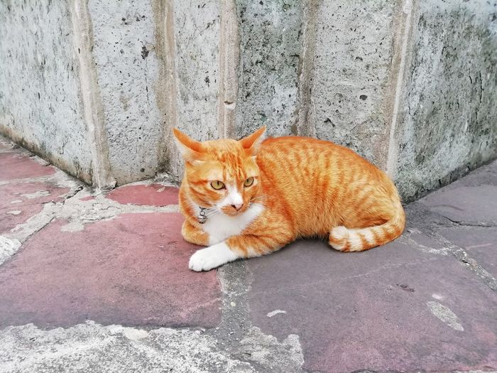 Portrait of ginger cat on footpath