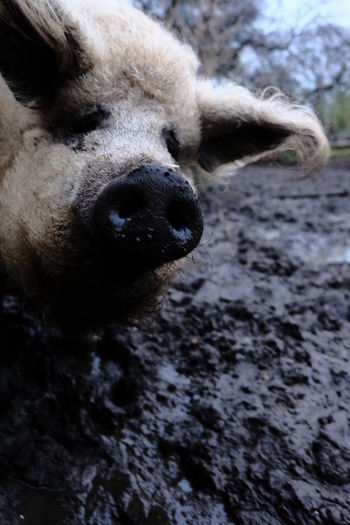 Agriculture Farm HOG Pig Nose Pork Sniff Sniffing Around Animal Protection Animal Themes Animal Welfare Farming Food Industry Meat Meat Industry Nature One Animal Pig Pig Snout Smelling Sniffing Swine Swine Head Swine Nose Wool Pig Woolpig