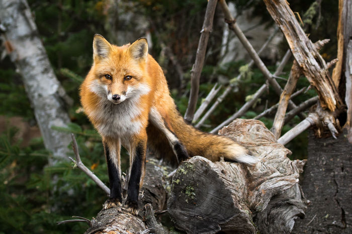 Red Fox - Vulpes vulpes, walking along a fallen tree, making eye contact. Animal Themes Animal Wildlife Animals In The Wild Close-up Day Fox Looking At Camera Mammal Nature No People One Animal Outdoors Portrait Red Fox Red Panda Tree Vulpes Vulpes