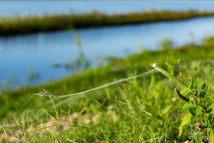 Spider web in nature. Plant Green Color Water Nature Growth Focus On Foreground Grass Beauty In Nature Field Tranquility Outdoors Lake Selective Focus Blade Of Grass Rare Spider Web Web Close-up No People Spider