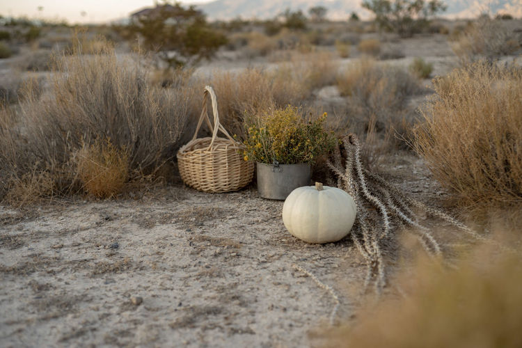 White pumpkin in autumn scene with basket, dried desert plants outdoors in mojave desert landscape