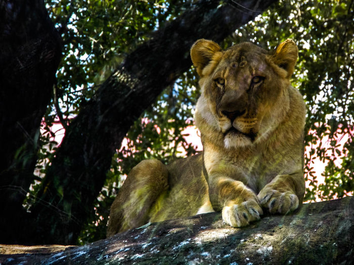 Animal Themes Beauty Close-up Day Feline Feline Portraits Lion Lounging Cat Mammal Nature No People One Animal One Person Outdoors Posdata Rock Shade Solitude