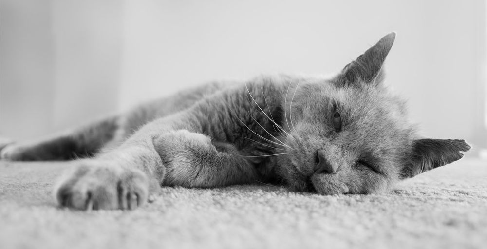 Animal Themes Close-up Day Domestic Animals Domestic Cat Eyes Closed  Feline Indoors  Lying Down Mammal No People One Animal Pets Relaxation Sleeping Willy