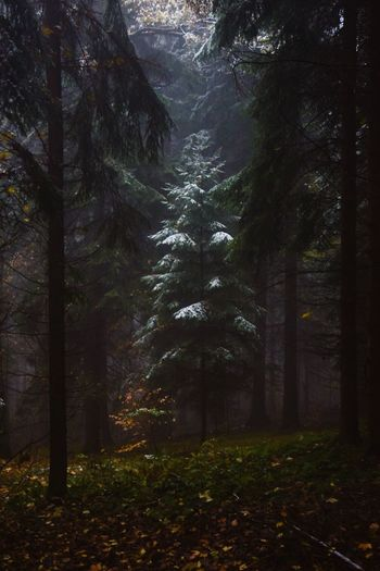 Last First Snow. Tree Forest Nature Beauty In Nature WoodLand Tranquility Outdoors No People Scenics Growth Landscape Fog Illuminated Night Tree Area Glade Snow Green Color Light November Autumn Winter