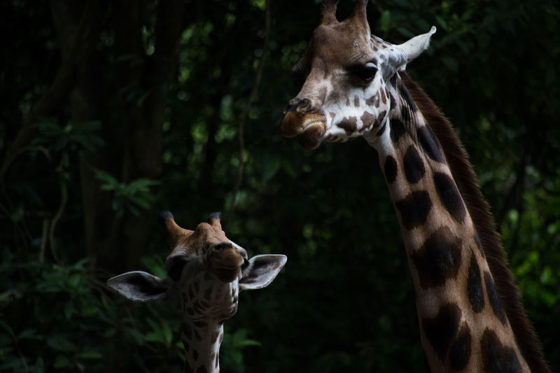 Close-up of giraffe with calf in forest