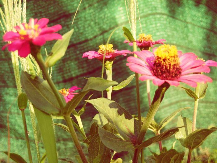 Thailand🇹🇭 Pink Color Leaf Growth Freshness Flower Head ดอกบานชื่น Banana Flower Beauty In Nature