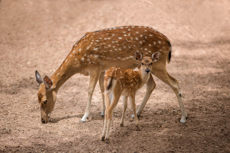 Cute deer Animal Themes Animal Wildlife Animals In The Wild Day Female Animal Full Length Mammal Nature No People Outdoors Stag Two Animals Young Animal