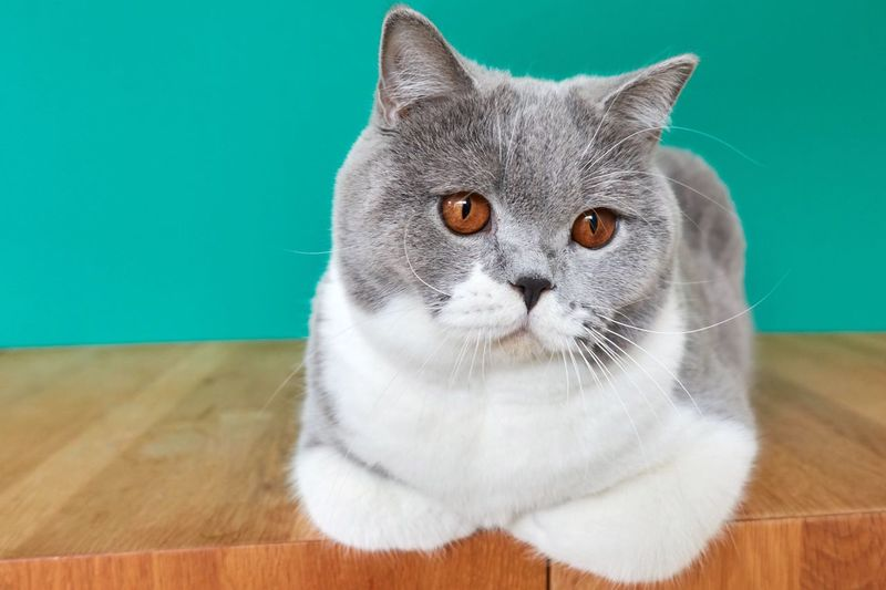 Cat with paws tucked in British Shorthair Mammal Animal Themes Animal One Animal Cat Domestic Cat Pets
