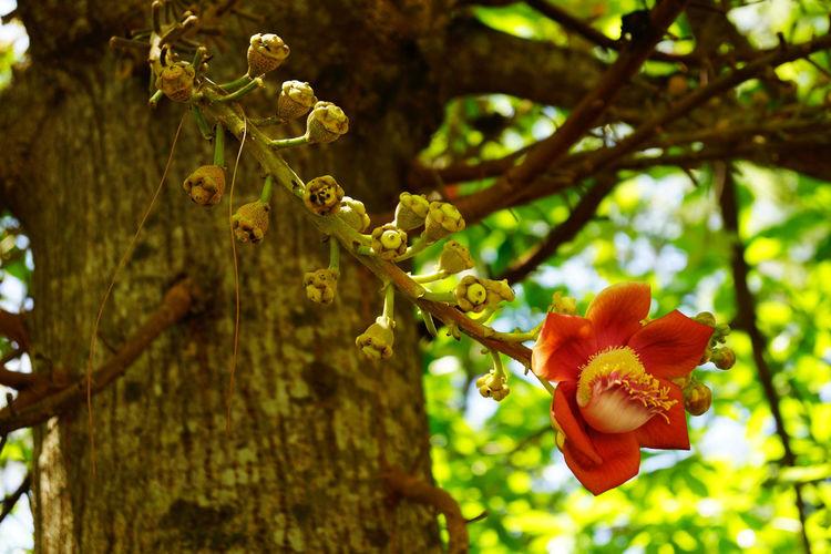 cannonball tree couroupita guianensis Bloem Boom Botany Cannonball Tree Couroupita Guianensis Flor Flower Flower Head Tree árbol