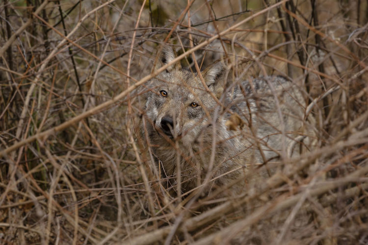 Portrait of italian wolf amidst dried plants at abruzzo national park