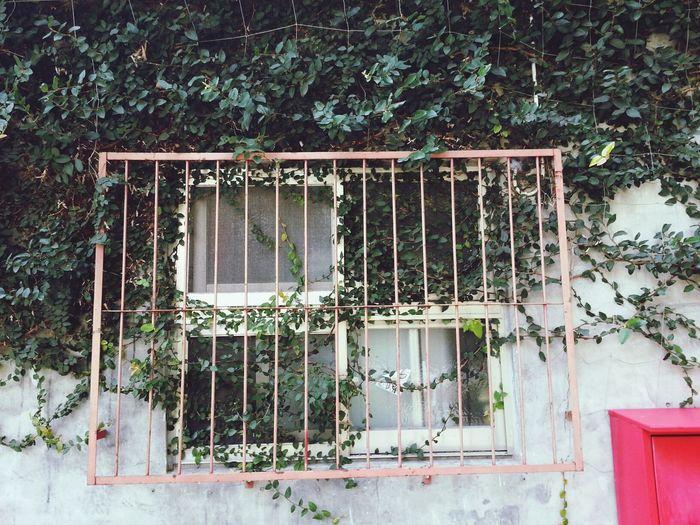 Day48 2014.02.22 藤蔓藤枝藤條木 攀岩攀窗攀古房 Enjoying Life Taking Photos Winze's Life Streetphotography