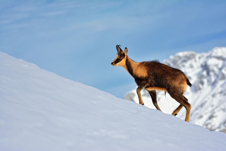 Giraffe on snow covered field against sky
