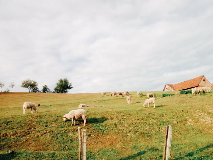 Tree Sheep Rural Scene Grazing Agriculture Flock Of Sheep Sky Animal Themes Grass Livestock