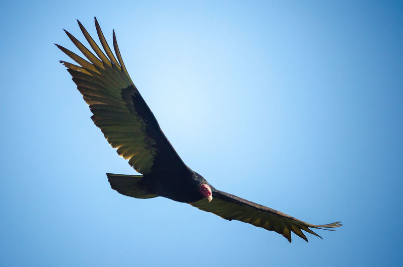 Turkey vulture (Cathartes aura) flying Braulio Carillo National Park Braulio Carrillo Cathartes Aura Costa Rica Turkey Vulture Animal Animal Themes Animal Wildlife Animals In The Wild Bird Circling Flying Heredia Mid-air Nature Spread Wings Tropical Vulture Wildlife