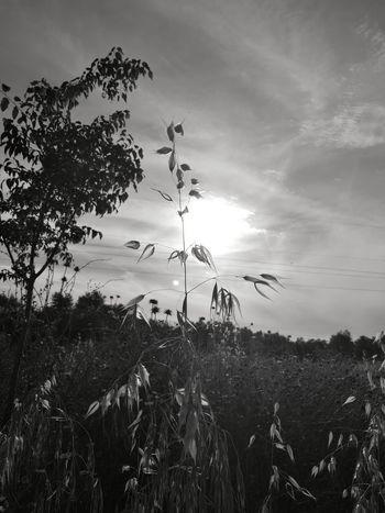 De paseo. Trigal Trigales Almensilla