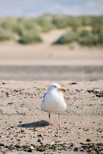 Seagull perching on land