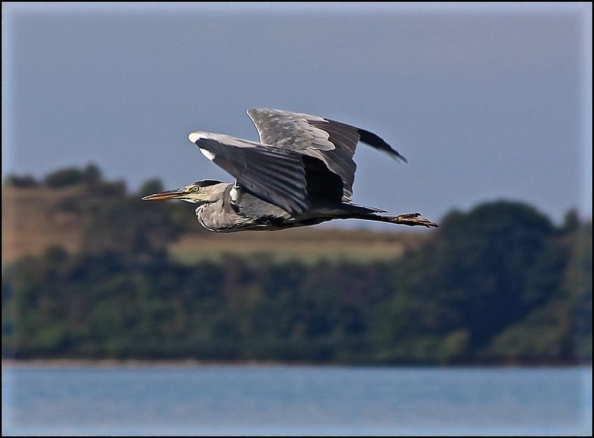 Animals In The Wild Baltic Sea Beauty In Nature Bird Canon Canonphotography EyeEm Best Shots EyeEm Best Shots - Nature EyeEm Nature Lover Flying Flying Heron Heron Mecklenburg-Vorpommern Nature Rügen Tadaa Tadaa Community Tadaa Friends
