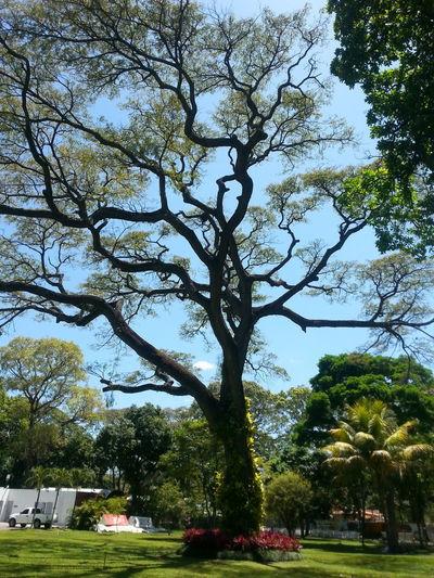 Great tree 2