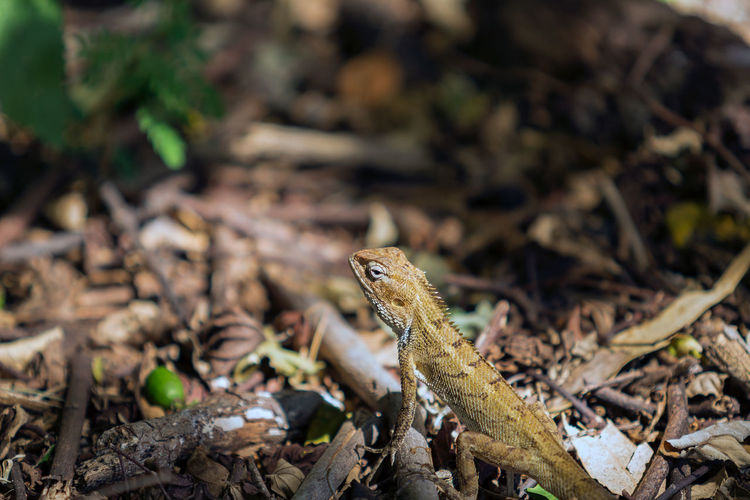 Camaleon Animal Themes Animal Wildlife Animals In The Wild Bearded Dragon Close-up Day Focus On Foreground Iguana Lizard Mauritius Island  Nature No People One Animal Outdoors Reptile
