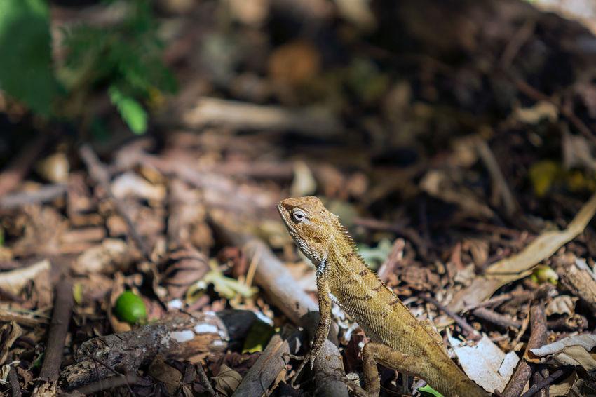 Camaleon Animal Themes Animal Wildlife Animals In The Wild Bearded Dragon Close-up Day Focus On Foreground Iguana Lizard Mauritius Island  Nature No People One Animal Outdoors Reptile