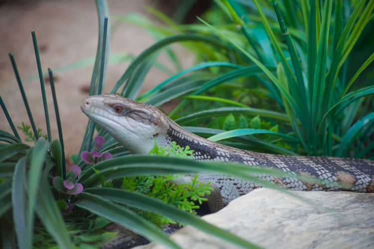 Animal Themes Animal Wildlife Animals In The Wild Bearded Dragon Close-up Day Green Color Growth Iguana Lizard Nature No People One Animal Outdoors Plant Reptile