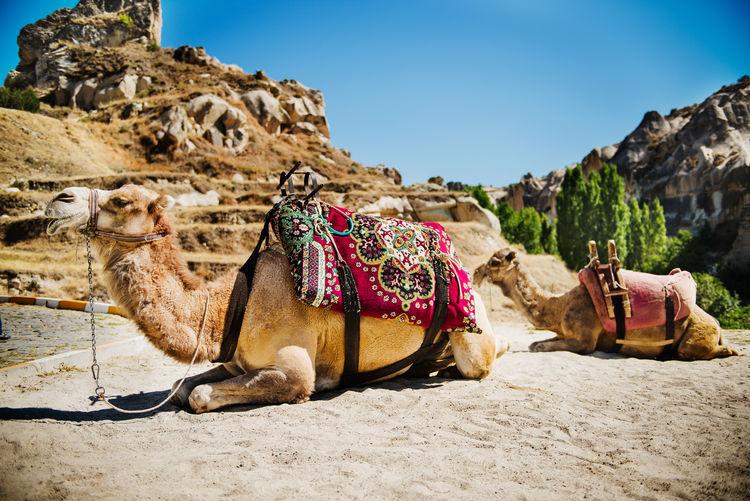 View of an animal on desert