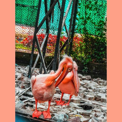 Pink Pelican Bird #nature-shooter #picoftheday #Pink  #Nature  #naturelove #photography #potrait #EyeEmNewHere #FollowMe Cage Day Outdoors No People Metal Grate Animal Themes Close-up First Eyeem Photo Bird Animals In The Wild Nature