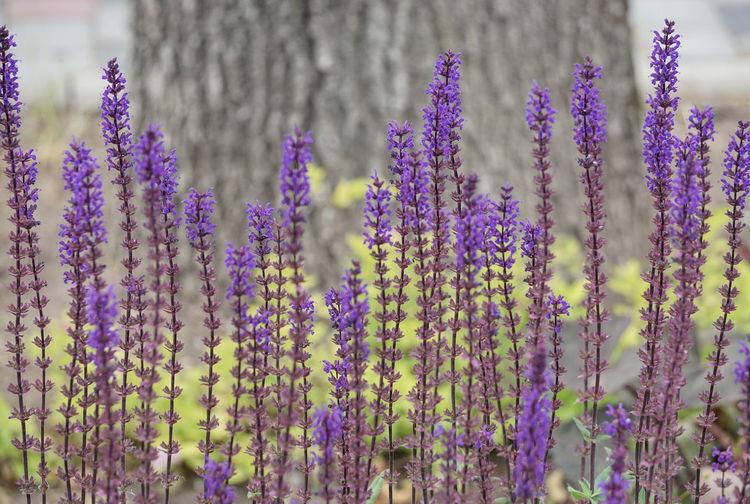 Lavender Flowers Growing On Field