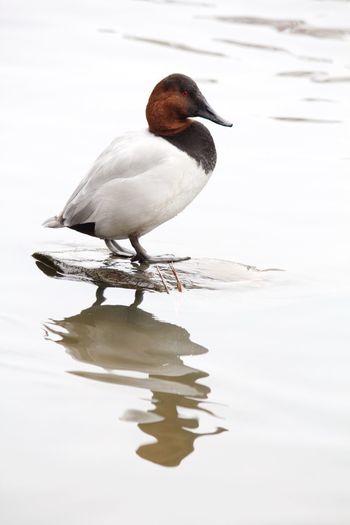 Canvasback Waterfowl Aythya Valisineria Water Reflections