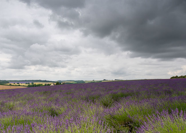Agriculture Beauty In Nature Cloud - Sky Day Field Flower Freshness Growth Landscape Lavender Lavender Colored Lavender Farm Lavender Field Moody Sky Moody Weather Nature No People Outdoors Plant Purple Scenics Sky Tranquil Scene Tranquility