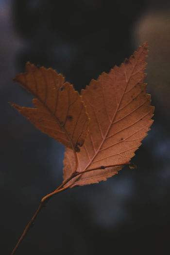 Close-up of dry maple leaf against blurred background
