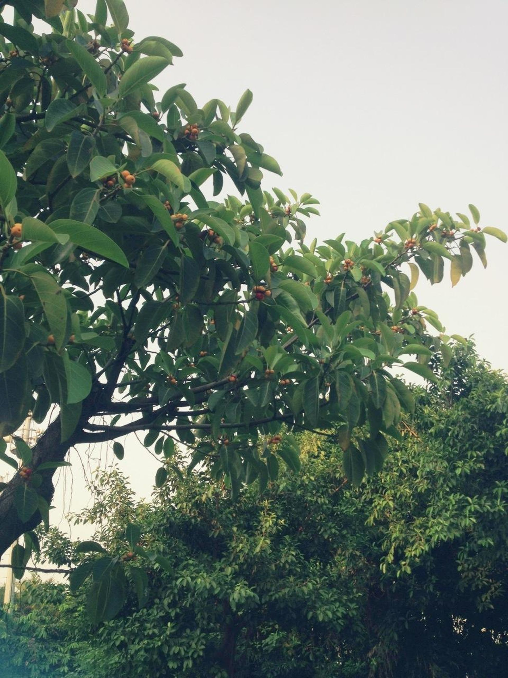 tree, growth, green color, leaf, low angle view, clear sky, branch, nature, fruit, growing, plant, green, lush foliage, sky, day, tranquility, beauty in nature, outdoors, no people, freshness