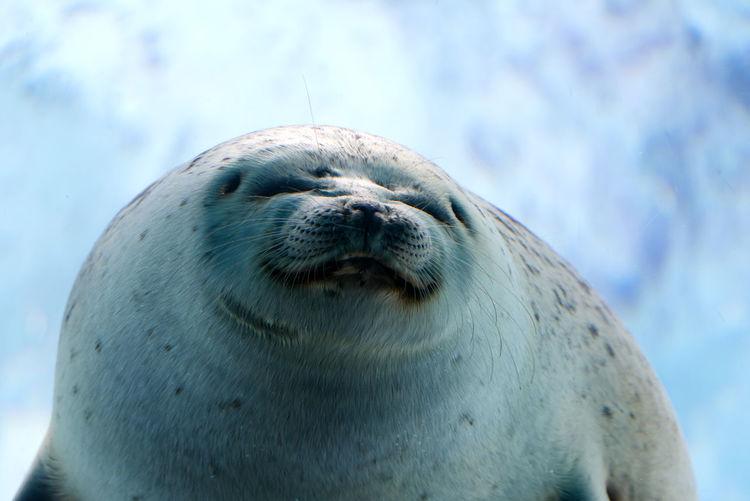 Close-up of ringed seal
