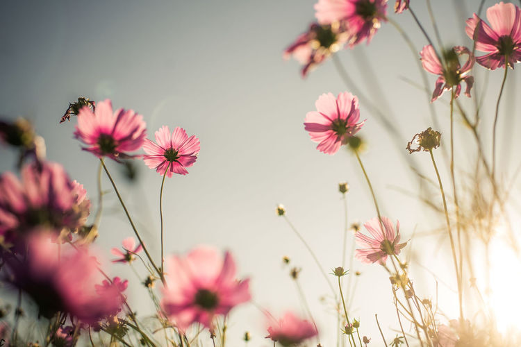 Flower Flowering Plant Plant Growth Freshness Vulnerability  Pink Color Fragility Beauty In Nature Close-up Petal Flower Head Nature No People Selective Focus Day Inflorescence Outdoors Plant Stem Cosmos Flower Pink Cosmos Sunset Sunrise Flare Blurred Background Spring Flowers