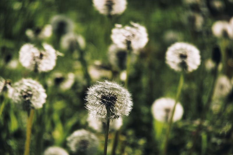 Dandelion Plant Flower Growth Flowering Plant Fragility Beauty In Nature Vulnerability  Focus On Foreground Dandelion Plant Stem Freshness Close-up Inflorescence Nature Flower Head No People Day Sunlight Outdoors Land