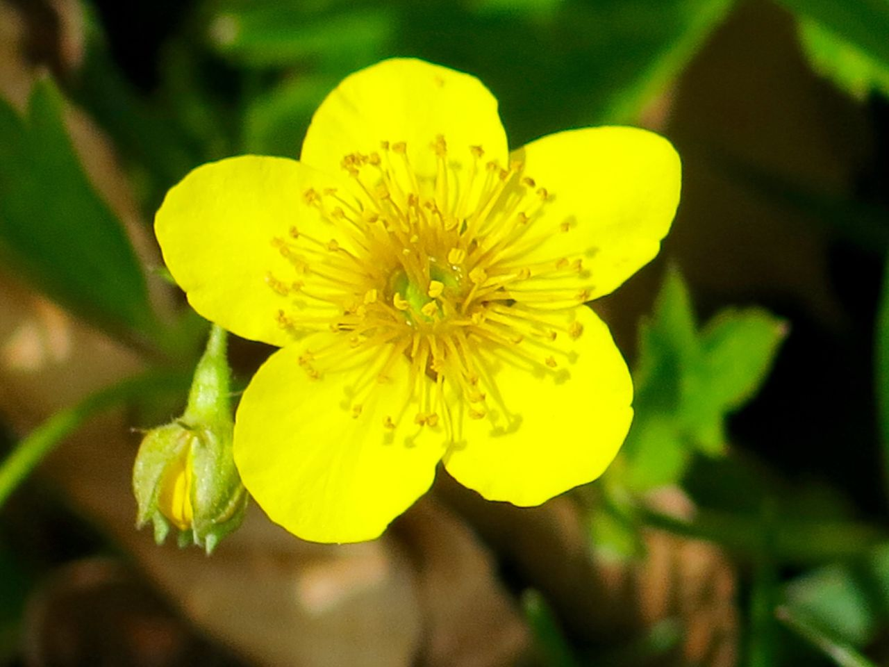 Close Up Of Small Yellow Flower