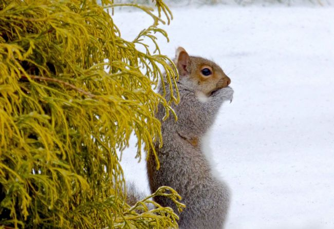 If It Snows They Will Come...one of my snow buddies eating one of the peanuts I put out Animal Themes Animal Wildlife Animals In The Wild Beauty In Nature Day Grass Gray Squirrel Mammal Nature No People One Animal Outdoors Snow ❄ Squirrel Squirrel Eating