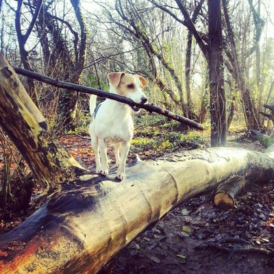 Walking Jackrusselle Mybaby Fun treesplease balancing cleverboy climbing woodland fallentrees
