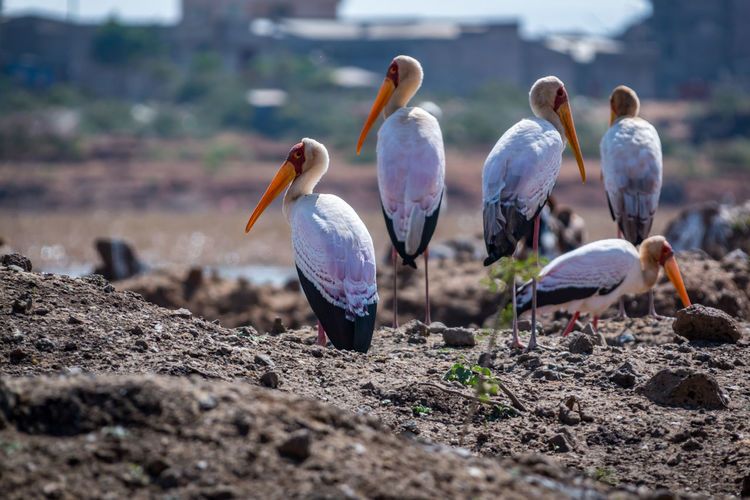 A Beauty In Nature Beauty Redefined Bird Bird Of Prey Bird Photography Birds Of EyeEm  Birdwatching Yellow Billed Stork Ethiopia EyeEm Nature Lover Free Marabu Prey Animal Cycle Of Life The Great Outdoors - 2017 EyeEm Awards