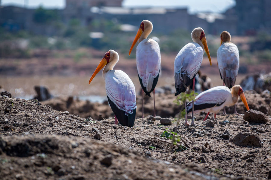 A Beauty In Nature Beauty Redefined Bird Bird Of Prey Bird Photography Birds Of EyeEm  Birdwatching Yellow Billed Stork Ethiopia EyeEm Nature Lover Free Marabu Prey Animal Cycle Of Life The Great Outdoors - 2017 EyeEm Awards