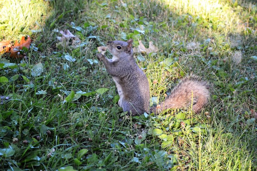 Animal Themes Animals In The Wild Field Grass No People One Animal Rearing Up Squirrel