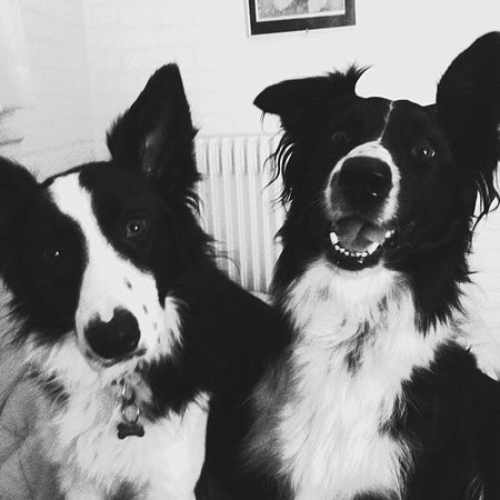 Bordercollie  Dogs Prettydogs Jimmi Kira Black & White Monocrome Funnydogs I Love My Dogs Intelligentdogs