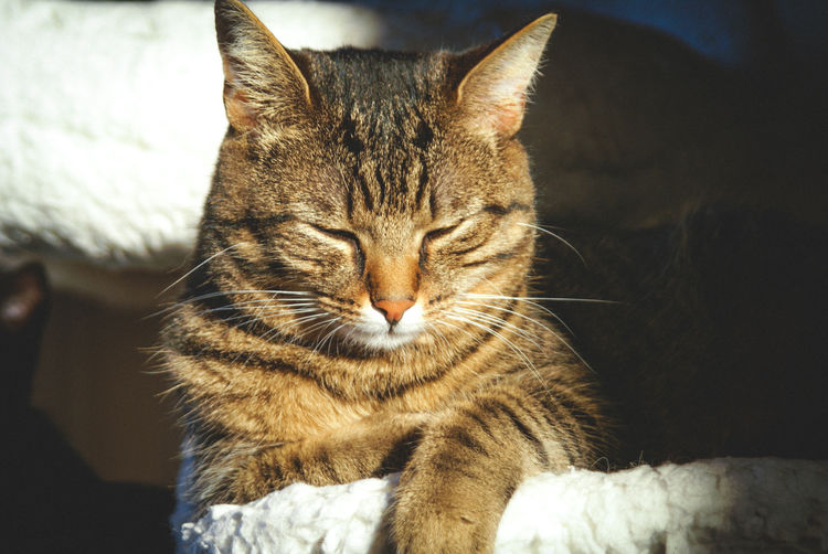 Close-up of cat resting at home