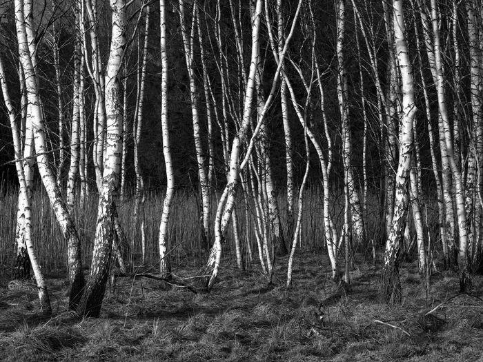 Birkenwald im